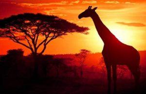 - Papier peint photo motif crépuscule dans la savane kT328 savane africaine papier peint coucher dimensions : 420 xXL x 270 cm-papier peint de la marque Dalinda image 0 produit